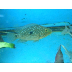 cichlassoma Octofasciatum 8cm