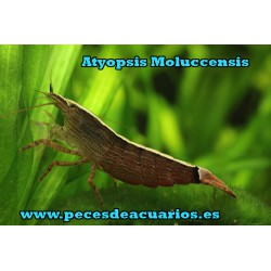 Atyopsis Moluccensis
