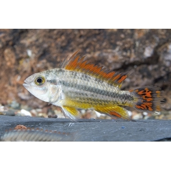 "Apistogramma cacatuoides ""doble Red"""