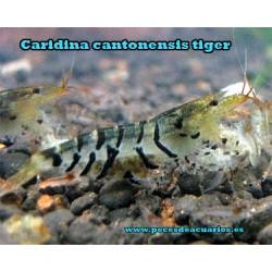 Caridina cantonensis tiger