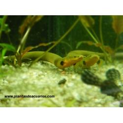 Calamita- pez serpiente