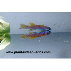 Aphyosemion striatum (Parejas)