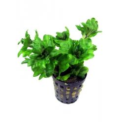 Shinnersia rivularis green
