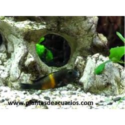 Tropheus moorii Orange II IKOLA 7 cm