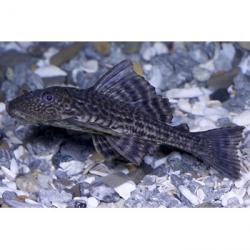 Hypostomus plecostomus