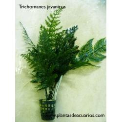 Trichomanes javanicus