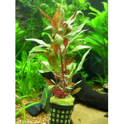 Alternanthera rosaefolia (6unid) 2,50€/unid