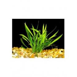 Echinodorus tenellus Premium (6unid) 2,50€/unid