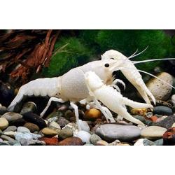 Procambarus clarkii White