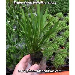 Echinodorus latifolius -xingu