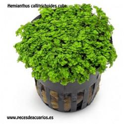 """Hemianthus callitrichoides """"cuba"""""""