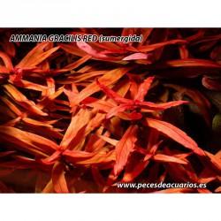 Ammania gracilis red