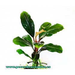 Bucephalandra sp