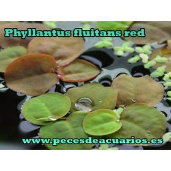 Phyllantus fluitans red