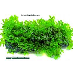 Lomariopsis lineata. Tarrina 5 cm diámetro