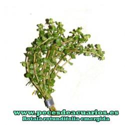 Rotala rotundifolia emergida