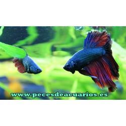 Pareja peces luchadores (betta splenders)