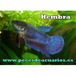 Betta splendens hembra