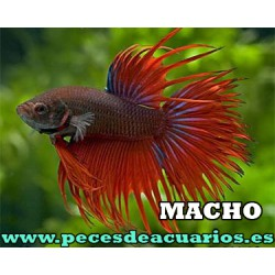 Betta macho Crowntail
