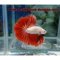 Betta halfmoon dragón rojo