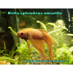 Betta splendens amarillo