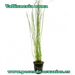 Vallisneria nana