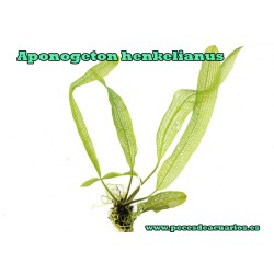 Aponogeton henkelianus