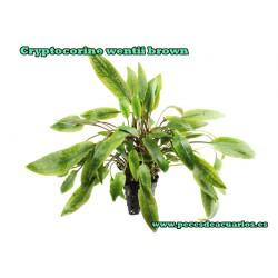 Cryptocorine wentii brown