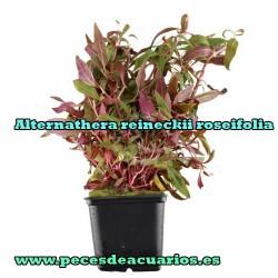 Alternathera reineckii roseifolia