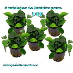 Anubia barteri variedad nana (5 unidades)