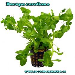 Bacopa caroliana