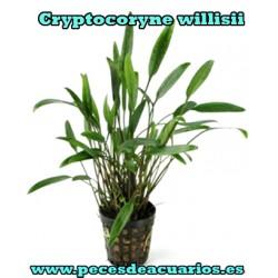 Cryptocoryne willisii