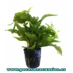 Microsorium latifolia