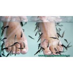 Garra rufa (pez dermatologo)
