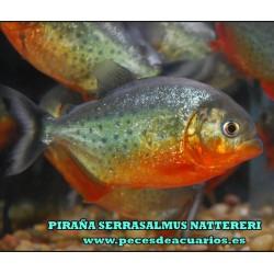 PIRAÑA SERRASALMUS NATTERERI 3-4 cm