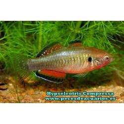 Hypseleotris Compressa
