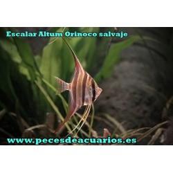 Escalar Altum Orinoco salvaje 8 cm