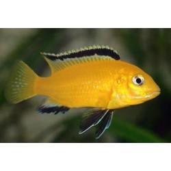 Labidochromis lemon