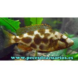Haplochromis livingstone