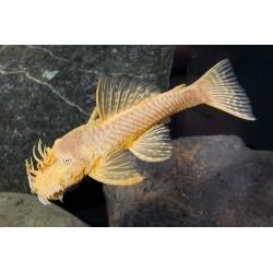 Ancistrus albino 6 cm