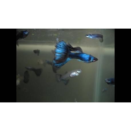 Guppy azul moscú (pareja)