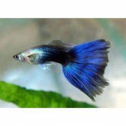 Guppy azul neon (pareja)