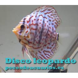 Pez disco Leopard 9 cm