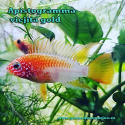 Apistogramma viejita gold (pareja)