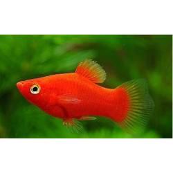 Platy coral rojo