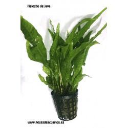 Microsorum pteropus (Helecho de java)