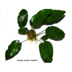 Anubias barteri tropical