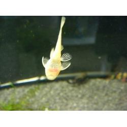Ancistrus albino 3 cm