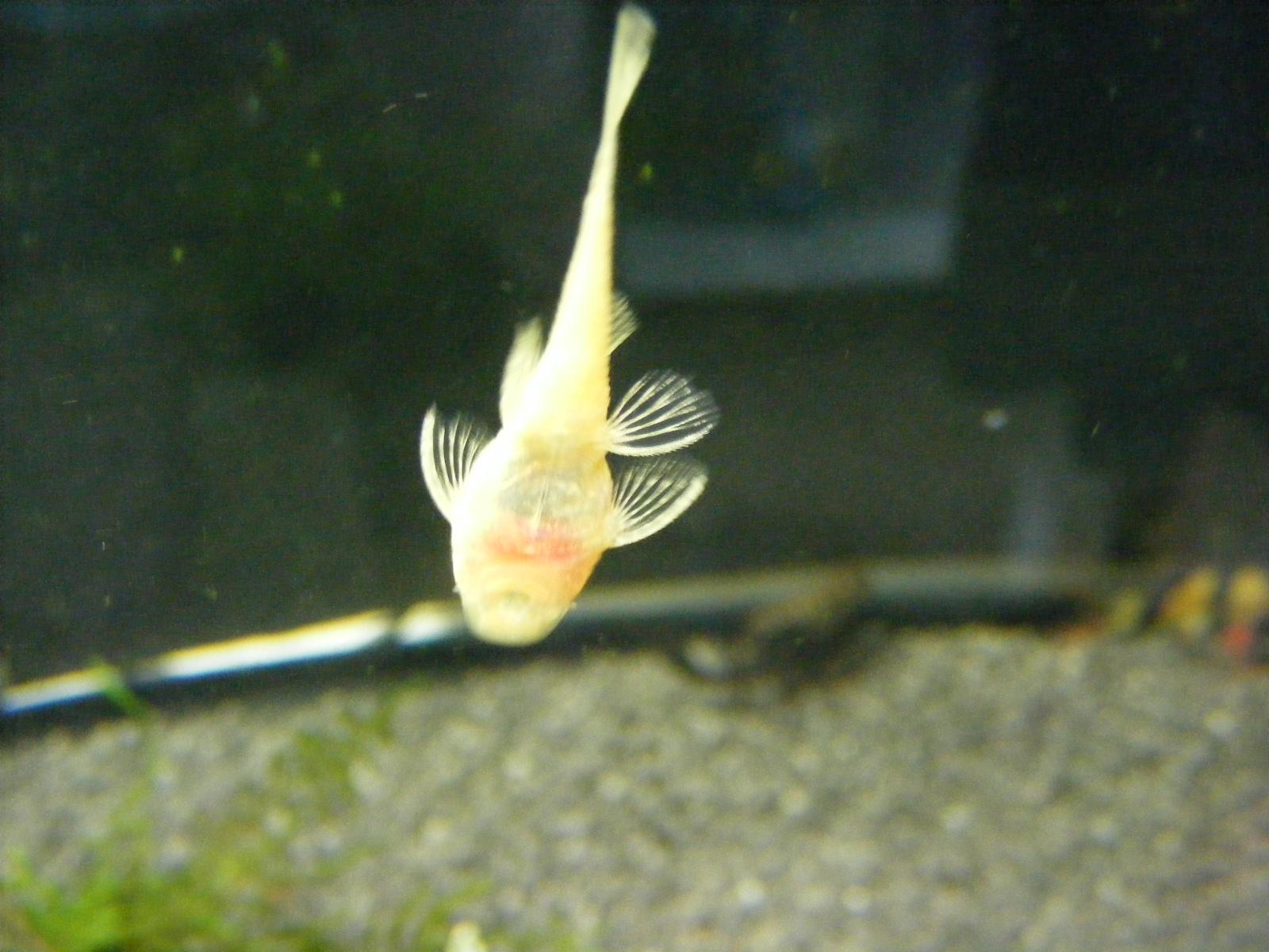 Spiksplinternieuw Ancistrus albino 3 cm - Pecesdeacuarios OF-86